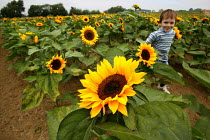 03-09-2003 - Child running through a field of sunflowers on a farm in the Cotswolds. © John Harris