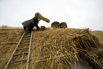 26-01-2012 - A Master Thatcher replacing the straw thatch of a thatched cottage in a Warwickshire village. © John Harris