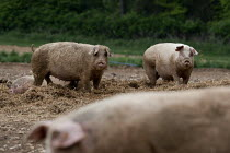 19-05-2013 - Pigs in a field, Norfolk © John Harris