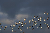 17-01-2014 - Lapwings in flight, Brandon Marsh Nature Reserve, Warwickshire Wildlife Trust, Coventry © John Harris