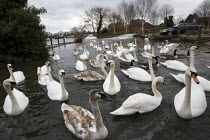 23-02-2014 - Swans and River Thames flooding, Chertsey, Surrey. © Jess Hurd