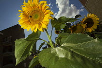17-08-2014 - International Sunflower Guerrilla Gardening Day - the resulting crop of illicit cultivation. Tower Hamlets, East London. © Jess Hurd