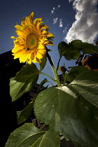 17-08-2014 - International Sunflower Guerrilla Gardening Day - the resulting crop of illicit cultivation. Mile End, East London. © Jess Hurd