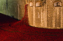 03-11-2014 - Ceramic poppies fill the Tower of London moat. Blood Swept Lands and Seas of Red, an art installation created by artist Paul Cummins, marks one hundred years since the First World War and each poppy r... © Jess Hurd