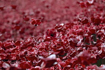 04-11-2014 - Ceramic poppies fill the Tower of London moat. Blood Swept Lands and Seas of Red, an art installation created by artist Paul Cummins, marks one hundred years since the First World War and each poppy r... © Jess Hurd