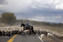 05-10-2010 - A shepherd and his dogs move a flock of sheep and a few goats along a road to a winter pasture in Colorados San Luis Valley. USA © Jim West
