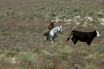 05-07-2011 - Cowboy moving cattle to a new pasture, Baker Ranch, Nevada, USA © Jim West