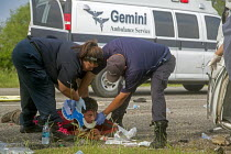 25-07-2013 - Falfurrias, Texas - EMTs treat a man injured when an van holding 26 undocumented immigrants from Central America overturned on Texas Highway 285. The driver had picked up the migrants just down the ro... © Jim West