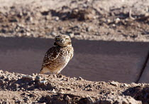 28-01-2012 - Brawley, California - A burrowing owl next to an irrigation ditch in the Imperial Valley. El Mirage, California © Jim West