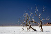 28-01-2012 - Calipatria, California: Dead trees on salt flat, Salton Sea. The salt encrusted flat left by the falling level of the Salton Sea. This endorheic rift lake in the Colorado Desert is about 70 metres bel... © Jim West