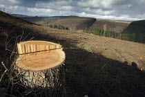 15-02-2011 - Afan forest, South Wales. Phytophthora ramorum - a devastating fungal pathogen - is causing widespread damage to trees in the UK. A cleared field of Larch and a stump of a larch tree. © Paul Box