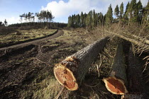 15-02-2011 - Afan forest, South Wales. Phytophthora ramorum - a devastating fungal pathogen - is causing widespread damage to trees in the UK. Felled Larch trees. © Paul Box