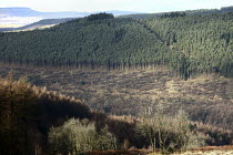 15-02-2011 - Afan forest, South Wales. Phytophthora ramorum - a devastating fungal pathogen - is causing widespread damage to trees in the UK. Felled Japanese Larch on a hillside of Douglas Fir trees with some rem... © Paul Box