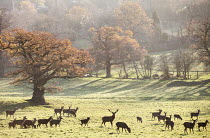 03-12-2014 - Deer, Ashton Court Estate, Bristol. European Green Capital. © Paul Box