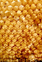 14-07-2002 - Honeycomb from a beehive. © Paul Box