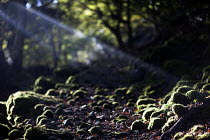 28-10-2010 - Sunlight reaching the woodland floor. Cader Idris or Cadair Idris mountain, situated in the Snowdonia National Park, North Wales. © Paul Box
