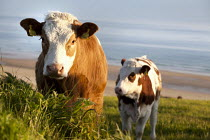 16-05-2012 - Cows in a field above Freshwater West. Pembrokeshire, Wales. © Paul Box