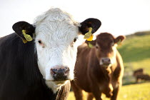 16-05-2012 - Cows in a field, Pembrokeshire, Wales. © Paul Box