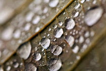 08-11-2012 - Water droplets. Autumn leaves, Westonbirt Arboretum, Forestry Commission, Wiltshire. © Paul Box