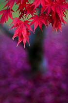 08-11-2012 - Autumn leaves, Westonbirt Arboretum, Forestry Commission, Wiltshire. © Paul Box