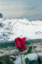 27-12-1999 - A rose left in memory for the four teenagers who lost their lives, after their car plunged over a cliff. © Rob Bremner