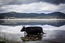 24-09-2015 - Cattle fording water to get back to their farm, Shangri-La, Yunnan Province, China. © Connor Matheson