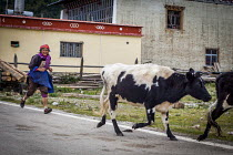 24-09-2015 - An elderly Bai woman herding her livestock back to the farm, Shangri-La, Yunnan Province, China. © Connor Matheson