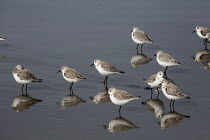 08-02-2016 - Western Sandpipers, Inglenook Fen Ten Mile Dunes Natural Preserve, MacKerricher State Park, California coast. © David Bacon