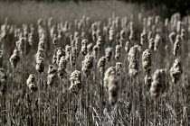 21-04-2016 - Reedmace Brandon Marsh Nature Reserve, Warwickshire. Ripe seedheads disintegrating into a cottony fluff from which seeds are dispersed by wind. © John Harris