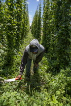 08-07-2016 - Moxee, Washington, worker cutting weeds growing between rows hops vines. The hops are harvested for making beer. © David Bacon