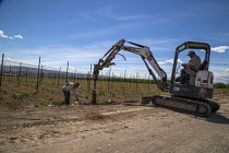 08-07-2016 - Moxee, Washington, workers diggiing holes to install an irrigation system in a field of new hop vines © David Bacon