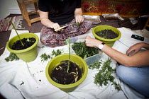 01-08-2016 - Cannabis users harvesting a crop of home grown Cannabis plants in their home. The plants were grown for personal use. Yorkshire © Connor Matheson
