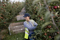 06-10-2016 - Bulgarian fruit pickers working in an apple orchard, Wisbech, Cambridgeshire © Jess Hurd