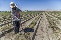 16-08-2017 - Coachella Valley, California, USA Worker applying a herbicide to weeds in a field of bell peppers on the edge of the Salton Sea. This method of applying the herbicide avoids using a spray that can dam... © David Bacon