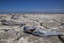 18-08-2017 - Coachella Valley, California, USA Dead fish on the edge of the Salton Sea, Salton City. The salt water leaves a dry crust on the soil as the sea dries up with receeding waters. On the hardpan are dead... © David Bacon