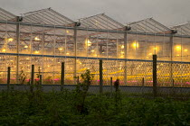16-10-2017 - Winter growing tomato greenhouse using LED lighting, Vale of Evesham, Worcestershire. An unusual red looking sky and sun due to Hurricane Ophelia dragging in tropical air and dust from the Sahara dese... © John Harris