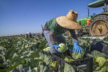 18-04-2018 - Oxnard, California, USA: Mexican farm workers harvesting cabbages © David Bacon