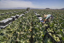 18-04-2018 - Oxnard, California, USA: Mexican farm workers harvesting cabbages. A worker putting plastic over the boxes of cut cabbage © David Bacon