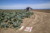 18-04-2018 - Oxnard, California, USA: Mexican farm workers harvesting cabbages. A worker removing plastic irrigation tubes. A sign in the dirt warning of the danger of sprayed pesticides © David Bacon