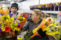 18-04-2018 - Doral, Florida, USA Workers processing cut flowers imported from South America, USA Bouquet Warehouse. Women packaging flowers for American outlets working at 40 degrees Fahrenheit (4.4 degrees centig... © Jim West