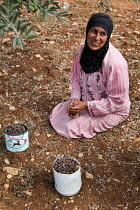 03-10-2013 - Occupied Palestinian Territories: Jaloud village, Shilo Valley, West Bank. Palestinian woman Keefah Aissa picking olives in Jaloud village © Joanne O'Brien