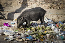 09-11-2018 - India, Jaipur, pollution: Indian boar routing through rubbish, India is one of main sources of plastic pollution © Martin Mayer