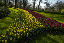 08-04-2019 - Tulip gardens, Keukenhof, Lisse, South Holland, Netherlands. The garden was established in 1949 by the mayor of Lisse to present a flower exhibit where growers from all over the Netherlands and Europe... © Jess Hurd