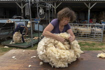 11-07-2019 - Shearing a flock of Ryeland sheep on a small farm in Worcestershire. Folding and rolling a fleece © John Harris