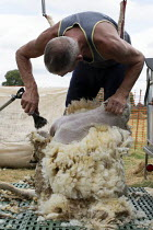 11-07-2019 - Shearing a flock of Ryeland sheep on a small farm in Worcestershire © John Harris