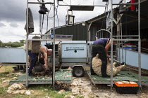 11-07-2019 - Shearing a flock of Ryeland sheep on a small farm in Worcestershire, Coloured Ryland © John Harris