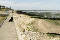 08-08-2019 - Crow looking out over MOD beach, Shoeburyness, Essex © Jess Hurd