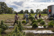 10-10-2019 - Michigan, USA: Workers harvesting hemp at the Paw Paw Hemp Company. Many American farmers harvested their first crop in 2019 after growing hemp was legalized by the 2018 federal farm bill. © Jim West