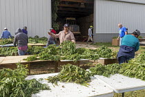 10-10-2019 - Michigan, USA: Workers harvesting hemp at the Paw Paw Hemp Company. Workers stringing the plants on cords and take them to the barn to dry. Many American farmers harvested their first crop in 2019 aft... © Jim West