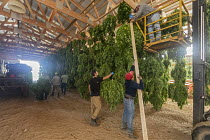 10-10-2019 - Michigan, USA: Workers harvesting hemp at the Paw Paw Hemp Company. Workers hanging the plants in a barn to dry. Many American farmers harvested their first crop in 2019 after growing hemp was legaliz... © Jim West